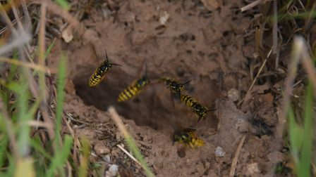 Wasps fly in and out of their nest in Alan and Lynne Burgess' wildlife oasis at Gimingham. Picture: