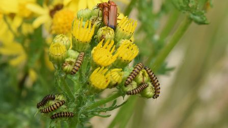 Insects on ragwort in Alan and Lynne Burgess' wildlife oasis at Gimingham. Picture: DENISE BRADLEY