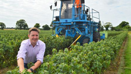 A new variety of blackcurrant for Ribena fruit drinks is being harvested at Hill Fruit Farm in Swafi