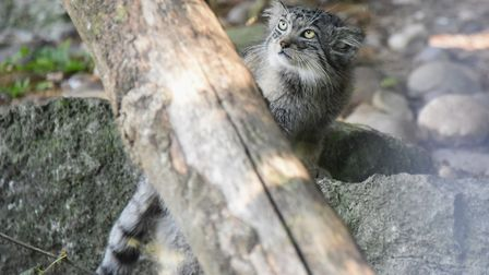 One of the three-months-old Pallas kittens at Banham Zoo. Picture: DENISE BRADLEY
