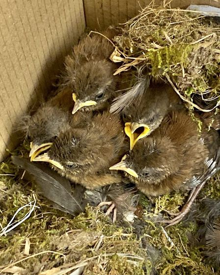 Five little wren chicks, who survived a precarious 60-mile round trip in their nest, built in the wh