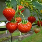 Fresh pick-your-own strawberries are available across Norfolk thsi summer! Picture: A.G. Meale &