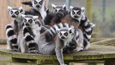 You could be up close with animals such as these ring tailed lemurs at Banham Zoo. Picture: DENISE