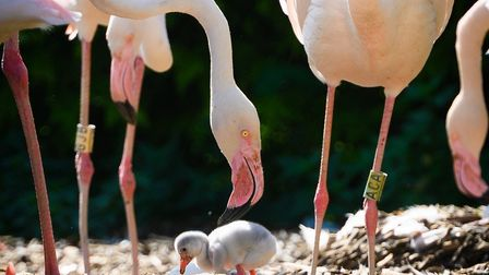 The flamingo chicks at Pensthorpe helped see visitor numbers rise on reopening after lockdown. The c