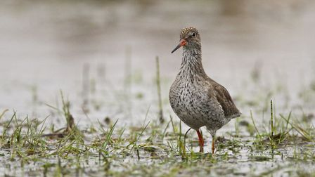 A redshank in breeding plumage. Picture: Andy Hay / RSPB Images.
