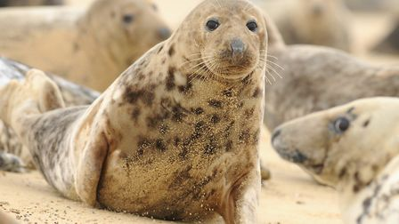 A grey seal colony on the Norfolk coast. Picture: James Bass