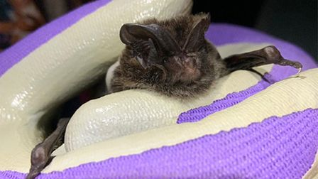 Barbastelle bat found in woodlands which would be destroyed by the proposed Norwich Western Link. Ph