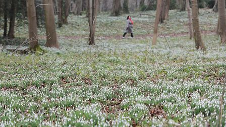 Sarah Caswell walking amongst the snowdrops at Walsingham Abbey. Picture: Ian Burt