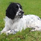 A pregnant cocker spaniel was found abandoned in a box and later died at Terrington Veterinary Centr