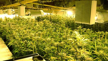 More than 900 cannabis plants were seized by Norfolk police at Gibbett Site Pig Farm in Hale Road, B