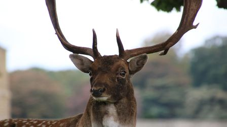 A young stag standing proud in front of Holkham Hall. Picture: Martin Sizeland