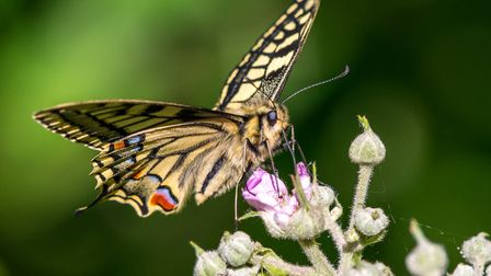 Another beautiful swallowtail. Picture: David Brooker