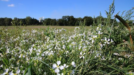 Wild flowers growing on the edge of a cut field of corn at Sculthorpe. Picture: Simon Bamber