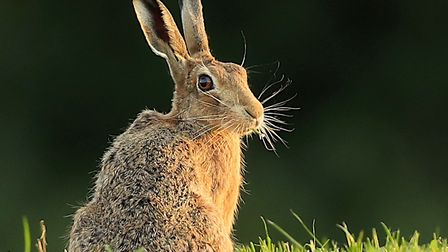 Hare in the evening light. Picture: Frances Crickmore