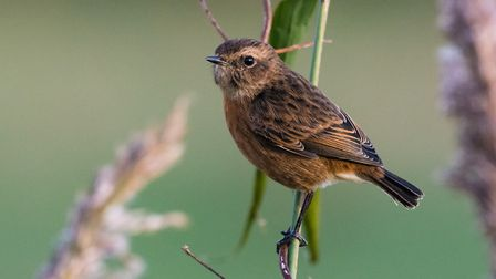Lovely stonechat. Picture: David Brooker