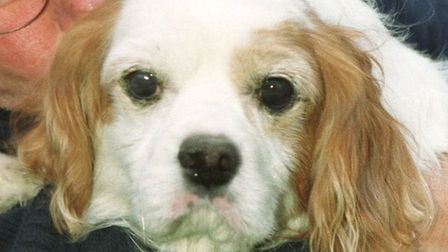 File pic of a King Charles spaniel.