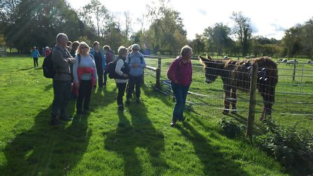 Dereham Walkers Are Welcome met donkeys and alpacas on their walk from Thuxton to Dereham. Picture: