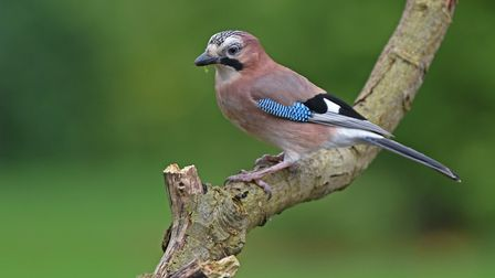 This beautiful coloured Jay is a regular visitor to the garden. Picture: Brian Shreeve