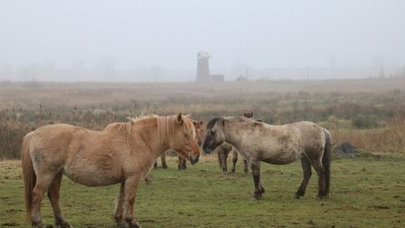 Two ponies on a very misty day near How Hill. Photo: Martin Sizeland.