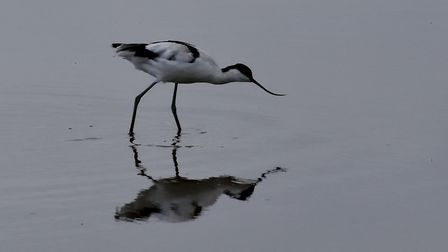 An Avocet at RSPB Titchwell. Photo: Brian Hicks