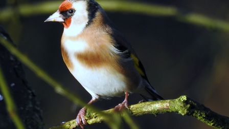 Goldfinch at Sculthorpe Moor Photo: Paul Reynolds
