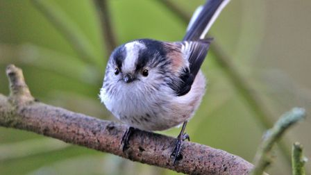 Pretty little Long-tailed tit Photo: Anne Marks