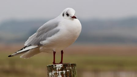 A seagull at Cley beach Photo: Hilary Gostling