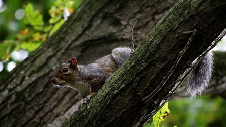 A squirrel searching in Thorpe Marriott Photo: Sophia Brooks