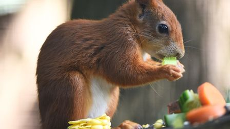 A Red Squirrel at Pensthorpe Nature Reserve. Picture: Ian Burt