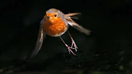 This little Robin made me jump Photo: Peter Dent