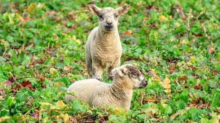 Spring has arrived on this farm near Fakenham, with some early lambs enjoying a feed in the fields P
