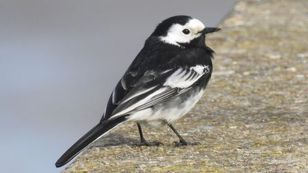 Pied wagtail at Wells Photo: Paul Reynolds
