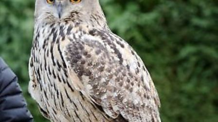 Baby, the European eagle owl, has been found. Picture: Submitted