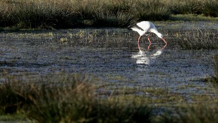 The Stork stood on the mill for around 45 minutes enjoying the sunset before settling down for a din