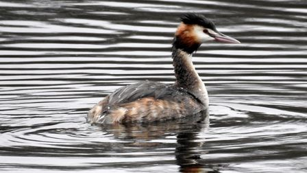 Great crested grebe at Sparham pools Photo: Paul Reynolds