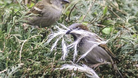 Both male and female House Sparrows gathering nesting materials Photo: Richard Brunton
