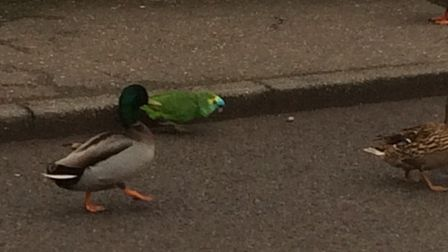 The parrot walks around Shipdham with his duck family. Picture: Steve Worth