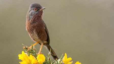 This Dartford Warbler had something to sing about when the temperature rose today. Photo: Brian Shre