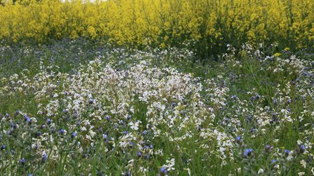 The wonderful colours of Wildflowers growing beside a field of Oil Seed Rape near Shereford. Photo: