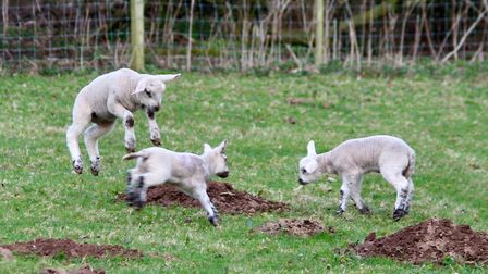 Spring lambs....just jumping for joy. Photo: Hilary Gostling