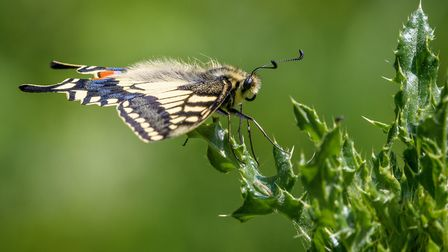 Nipped down the fen again this afternoon to watch the swallowtails. Photo: David Brooker