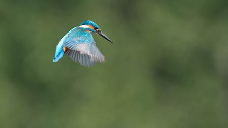 This Kingfisher seen ready to dive for a fish. Photo: Brain Shreeve