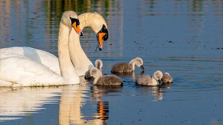 As the sun rose early monday morning this beautiful family of mute swans appeared in fabulous light.