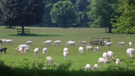 A herd of White Deer in a quiet corner of the Houghton Hall Estate. Photo: Martin Sizeland