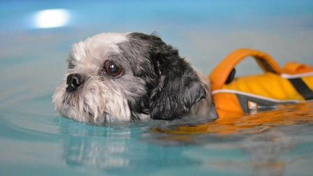 Paddle Paws Canine Hydrotherapy. A dog enjoys a swim. Picture: DANNI PHILLIPS