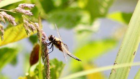 The fierce beauty of dragonflies. Photo: Hilary Gostling