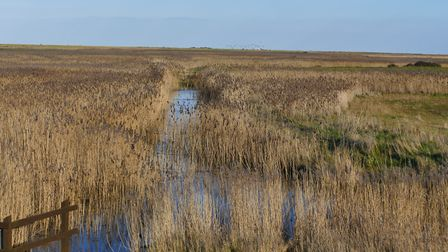 Reed beds at Blakeney. Photo: Lesley Buckley