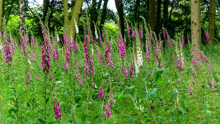 The beautiful Foxgloves standing tall and growing in their natural setting in woodland. Photo: Richa