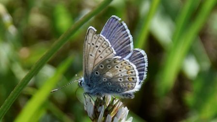 Common Blue butterfly. Photo: Susan Cockaday