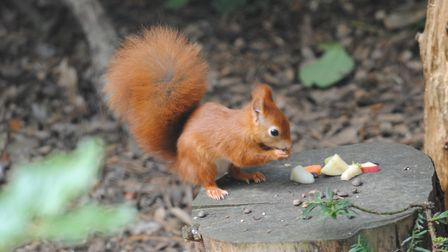 A lovely little red squirrel feeding at Pensthorpe. Picture: Steve Terry
